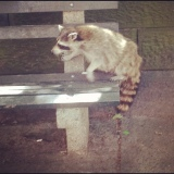 Return of the Raccoon